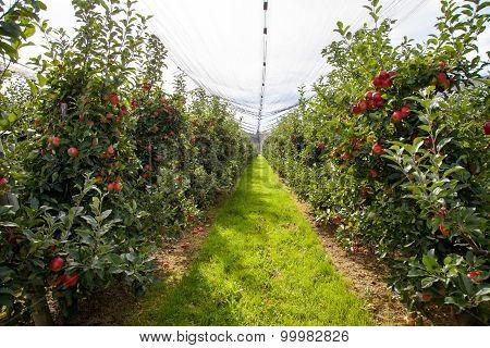 Organic Apple Farm