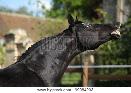 Flehming Dutch Warmblood