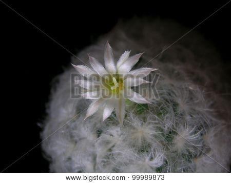 Mammillaria cactus with light pink flower