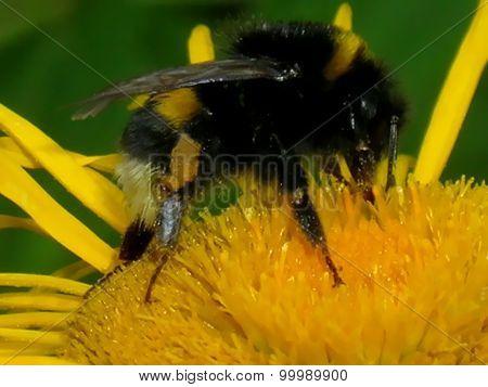 Bumblebee, close-up