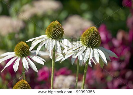 Flowers Of Echinacea Fragrant Angel