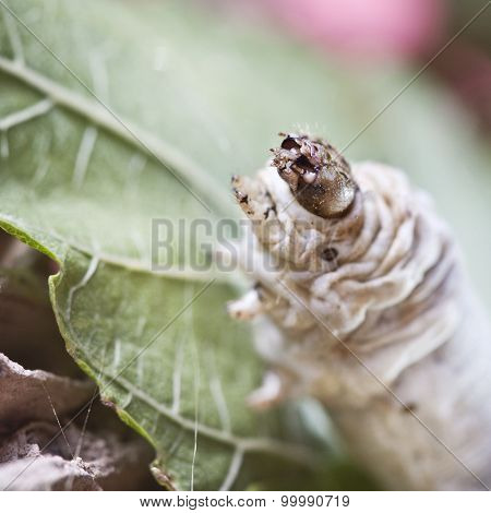 Silkworm Walking In The Mulberry Green Leaf