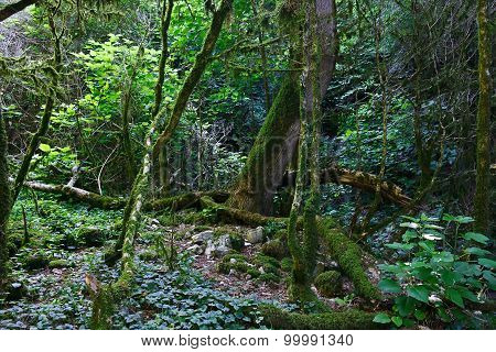 Old impassable boxwood forest on sunny day