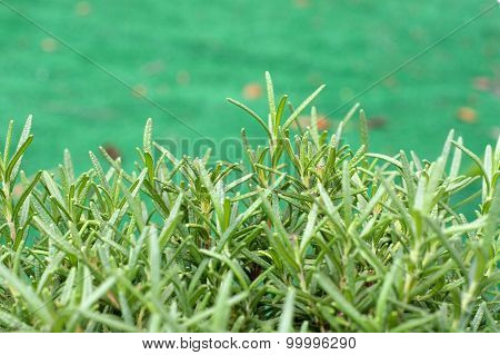 Rosemary Herb Plant At Eye Level