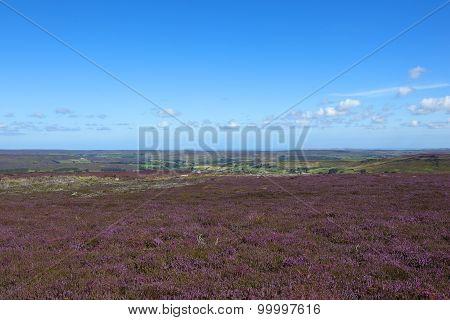 Scenic Flowering Heather Landscape