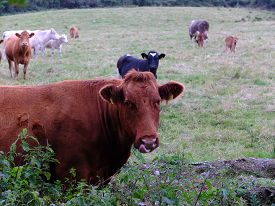picture of calf  - Cows and calves are grazing on the meadow - JPG