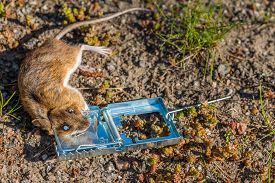stock photo of field mouse  - Dead mouse in a trap staring with bulged eyes