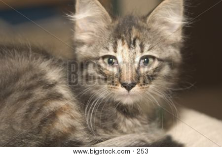 Big-Earred Kitten