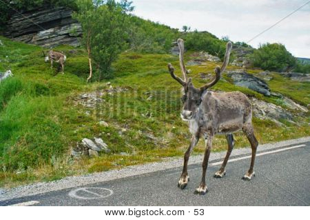 Reindeer In Road
