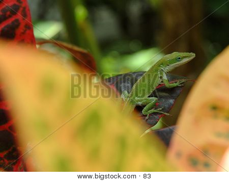 Hawaiian Gecko On Leaf